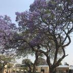 jaracanda in fiore a lukamantano